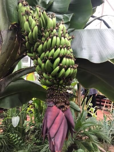 bananas in broomfield conservatory jean davies